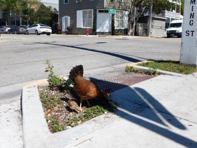 Kippen in Key West