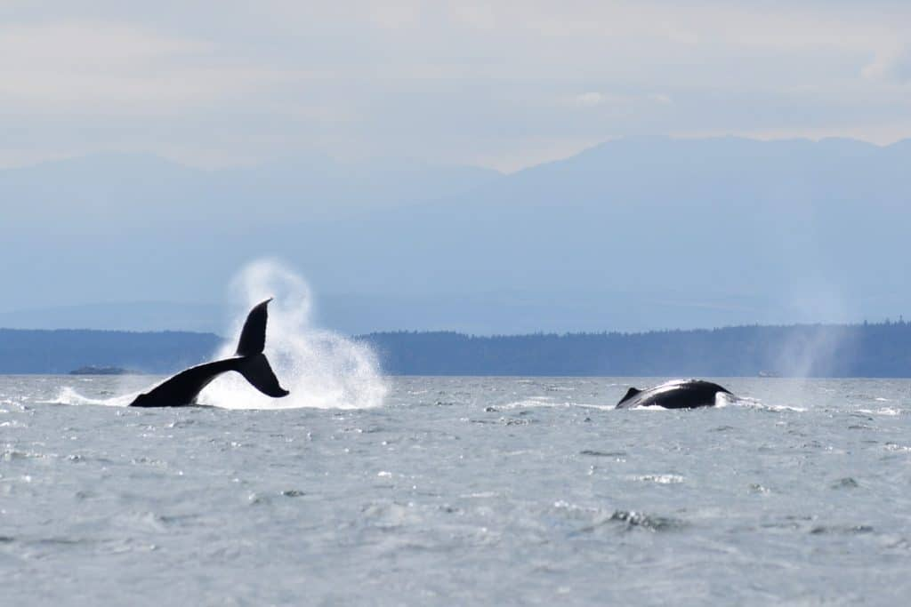 Whale Watching Tour Campbell River