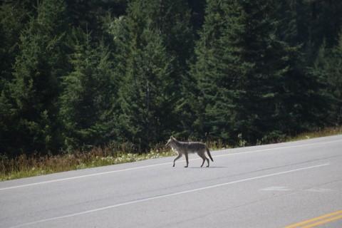 Jasper Coyote