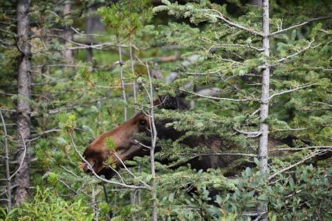 Moose - Jasper National Park