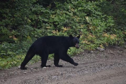 Zwarte beer Wells Gray PP