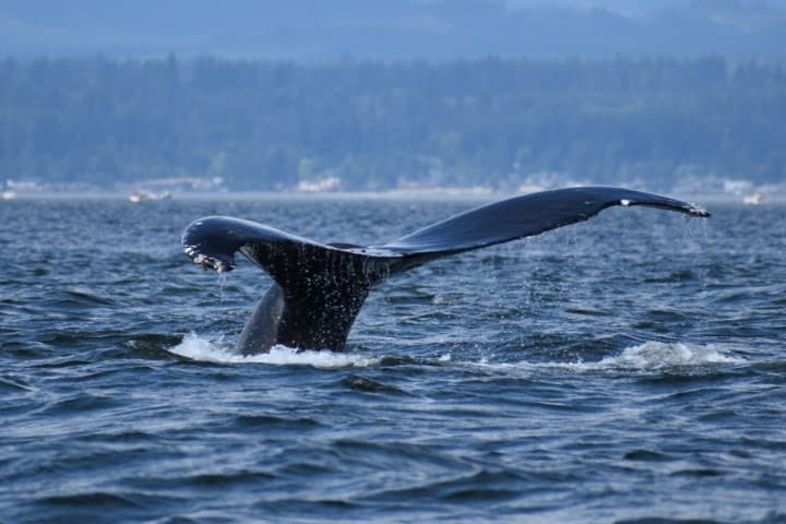 Whale Watching Tour - Campbell River - Vancouver Island