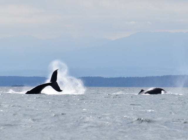 Whale watching Tour – Campbell River BC