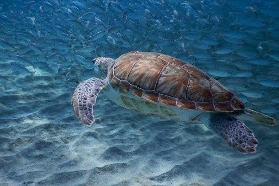 Sea Turtle Curaçao - Playa Grandi