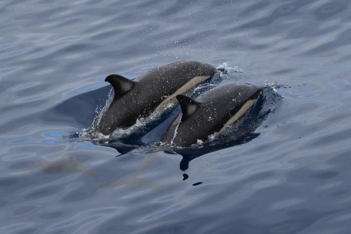 Madeira dolphins