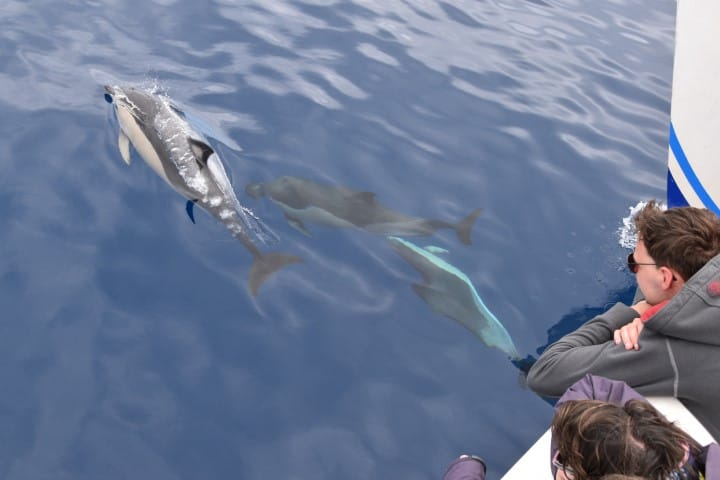 Madeira dolphins