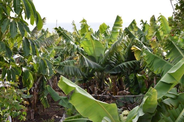 Bananen Funchal