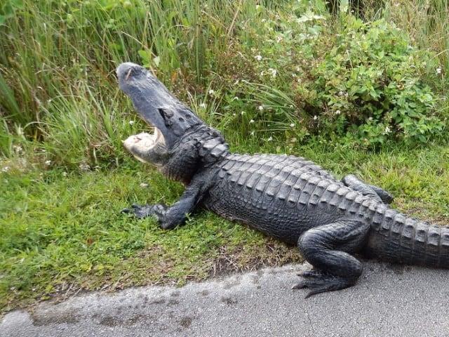 Je bekijkt nu Shark Valley Tram Tour in de Everglades